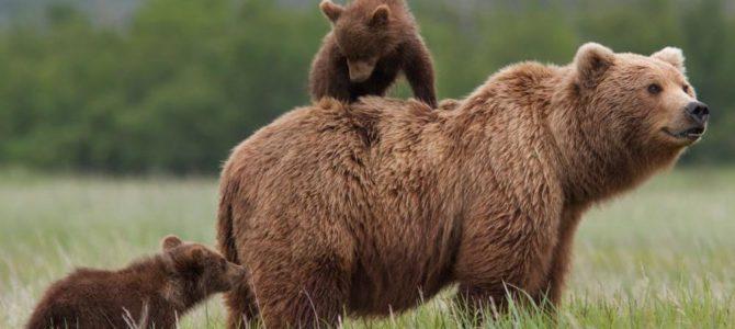 Figyelem: Medvék!